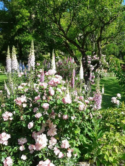 "A border of roses and foxgloves in the orchard. At the front the rose ""Constance Spry"" by Austin"