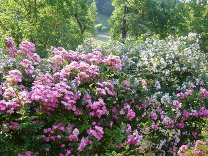 """Le rose """"Flora"""" e """"Paul's Himalayan musk"""" sulla pergola del frutteto"""