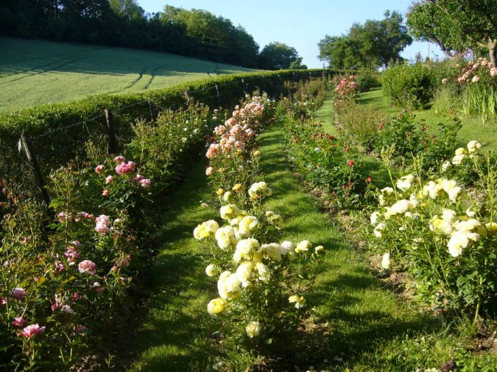 Rows of cutting roses in the Orchard Garden