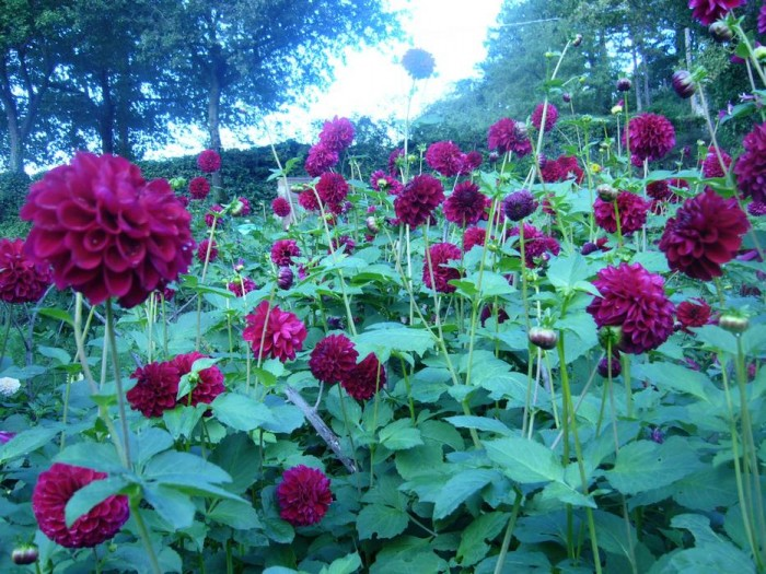 Ruby red dahlias very good for cutting