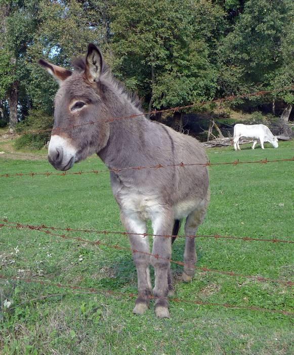 Donkey Esterino