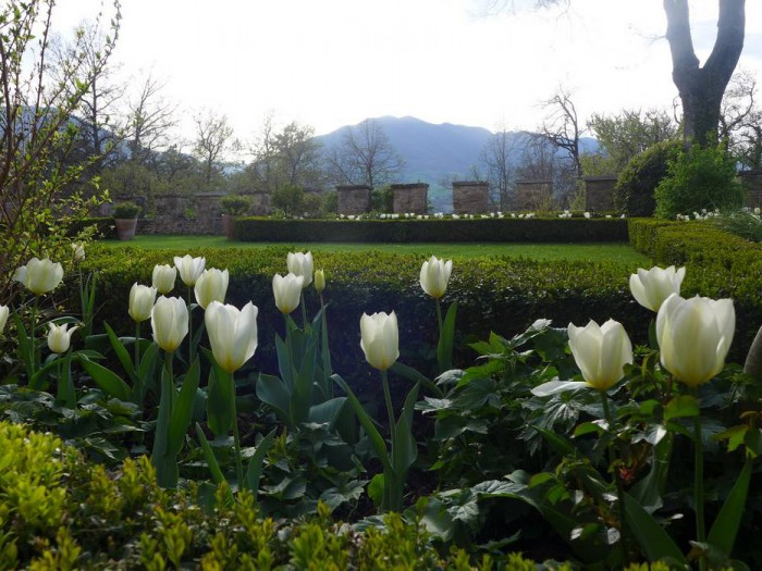 Fioritura di tulipani bianchi ad Aprile