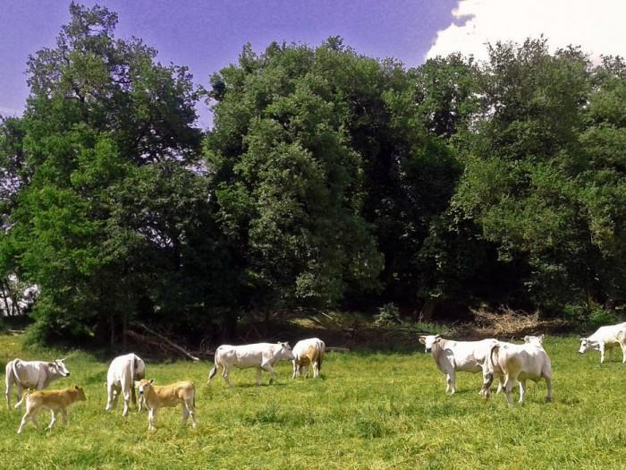 Vacche e vitelli al pascolo