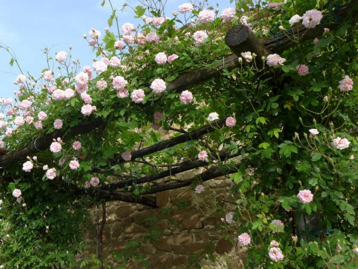 "An arbor of vines and roses ""Cécile Brunner"""