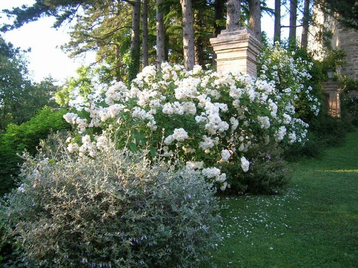 "A huge ""Penelope"" bush in the alley that leads to the Castle garden"