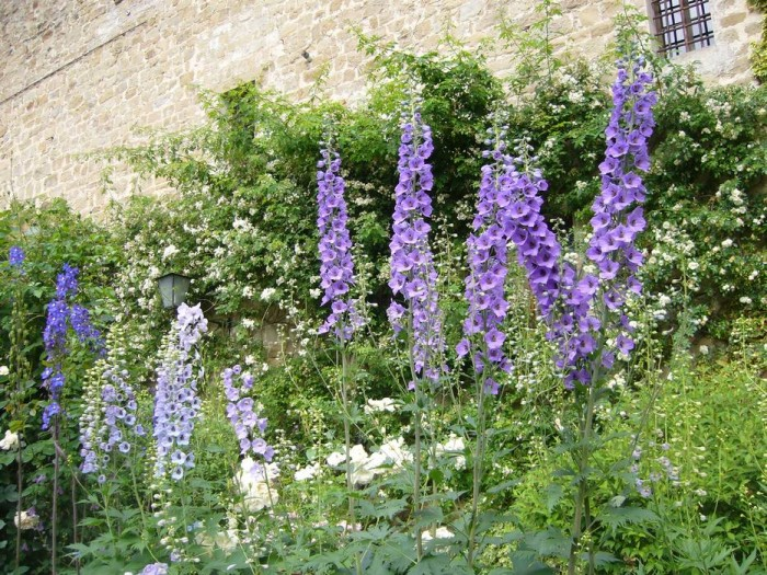 Blue and purple delphiniums in the beds