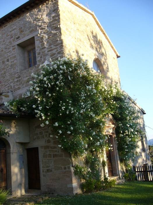 "The Church main door framed by  climbing rose""Iceberg"""