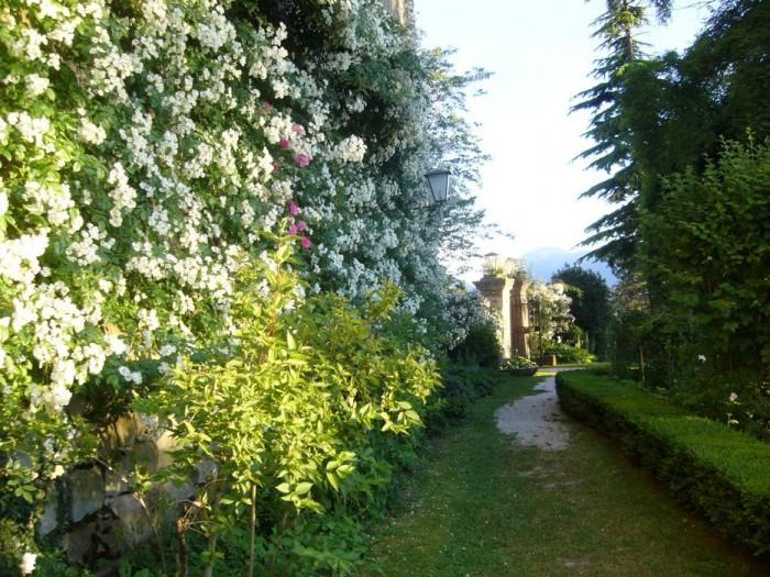 """La rosa """"Longicuspis"""" sul muro del castello"""