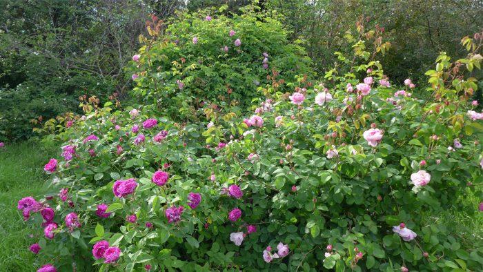 Cespugli di rose antiche