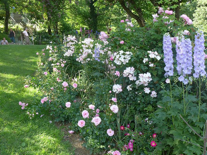 Delphiniums in the Orchard Garden